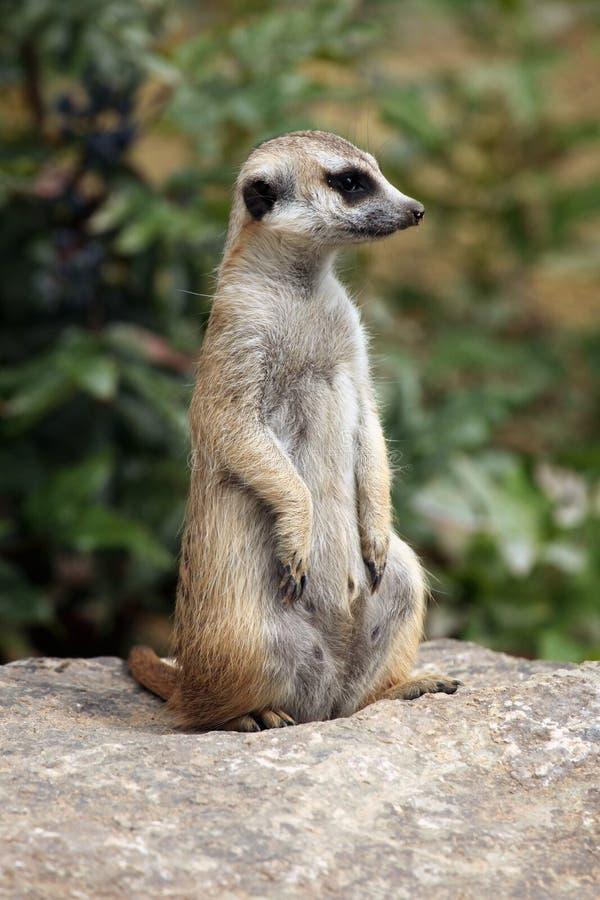 Meerkat (suricatta Suricata) стоковые фотографии rf
