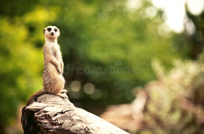Meerkat (Surikate) royaltyfri bild