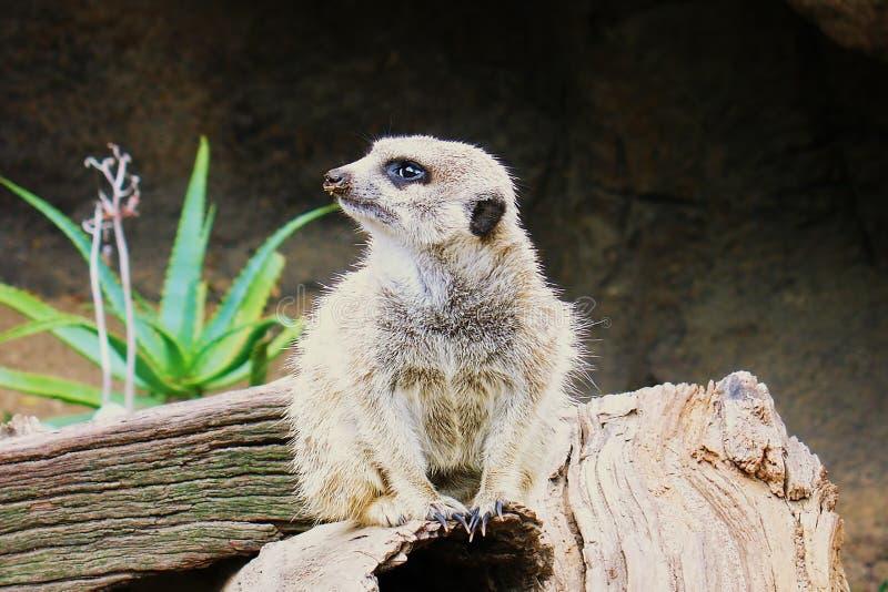 Meerkat Surikate encontrou no jardim zoológico de Melbourne, Austrália fotografia de stock