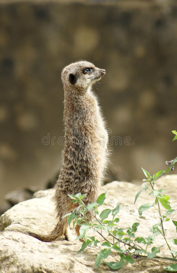 Meerkat surveying