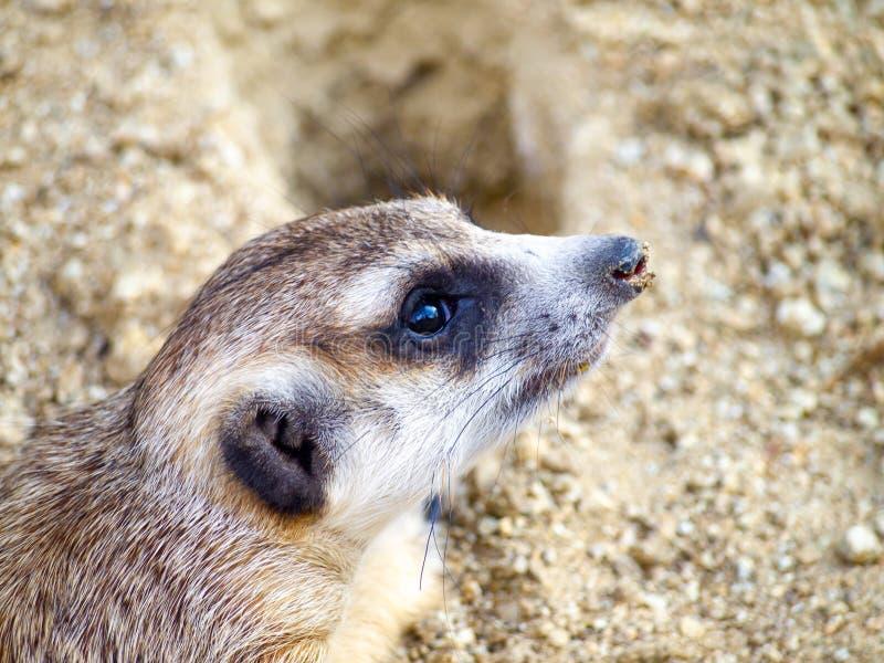 Meerkat sveglio che il piccolo animale da pelliccia marrone ha vita in natura il suo sguardo attento dentro in avanti sulla sabbi immagini stock libere da diritti