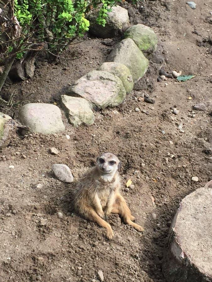 Meerkat sveglio in uno zoo immagini stock libere da diritti