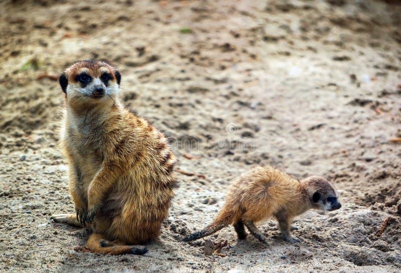 Meerkat także znać jako suricate z dzieckiem fotografia royalty free
