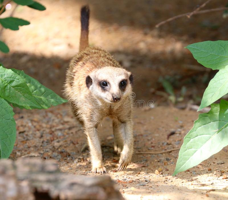 A Meerkat Takes A Cheerful Evening Stroll royalty free stock photo
