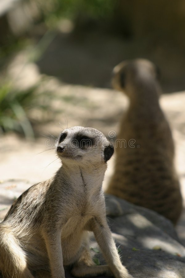 Download Meerkat at Taronga Zoo stock image. Image of suricatta - 3141169