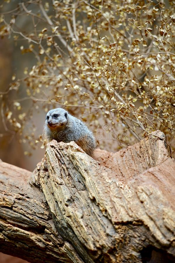 Download Meerkat on the Tree stock image. Image of mammal, tire - 24709851