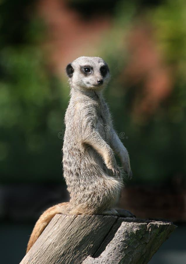 Meerkat on Tree Stump stock photography