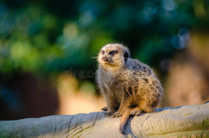 Meerkat on tree trunk royalty free stock photography
