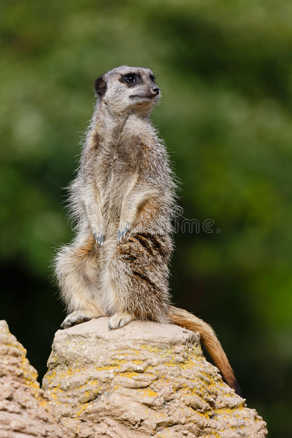 Meerkat vaktpost royaltyfria foton
