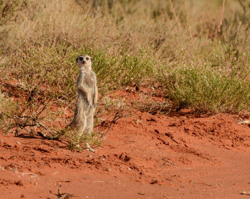 Meerkat vigilant images stock