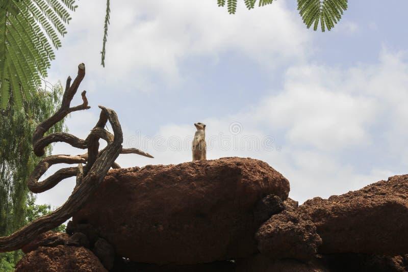 Meerkat waakzaam op een rots terwijl vastbesloten op het letten stock foto's