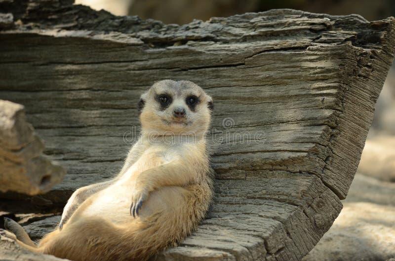 Meerkat zitting en het ontspannen royalty-vrije stock foto's