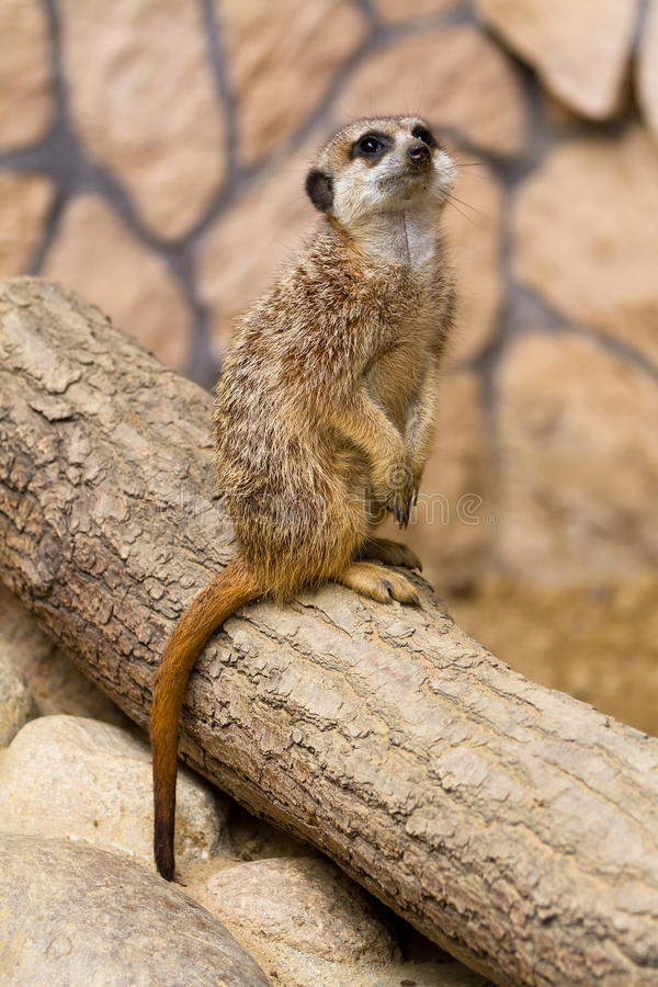Meerkat in the zoo royalty free stock photography