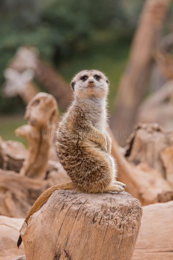 Download Meerkat in the zoo stock image. Image of cute, alone - 38444127