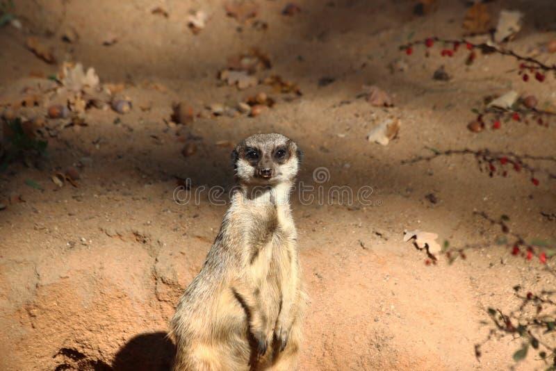 Meerkat in zoo in germany in nuremberg. royalty free stock photos