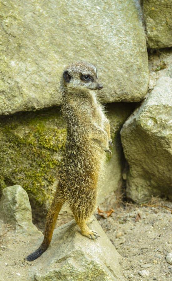 Meerkat at zoo royalty free stock photography