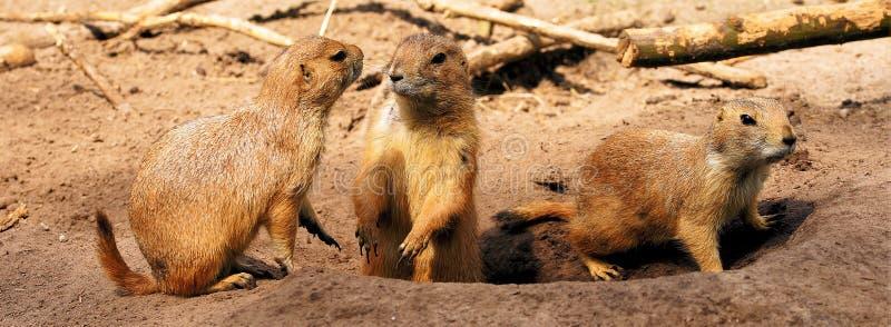 Meerkat, Zoogdier, Fauna, Aards Dier Gratis Openbaar Domein Cc0 Beeld