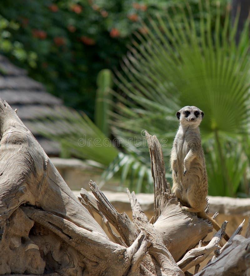 Meerkat zwierzęta Natura zdjęcia royalty free