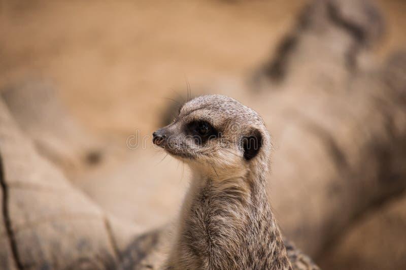 Meerkaten eller suricaten i den Lissabon zoo royaltyfria bilder