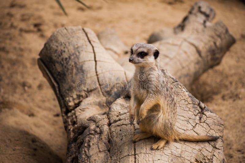 Meerkaten eller suricaten i den Lissabon zoo royaltyfri foto