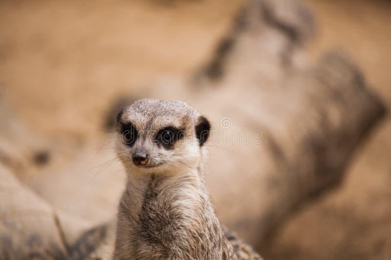 Meerkaten eller suricaten i den Lissabon zoo arkivfoto