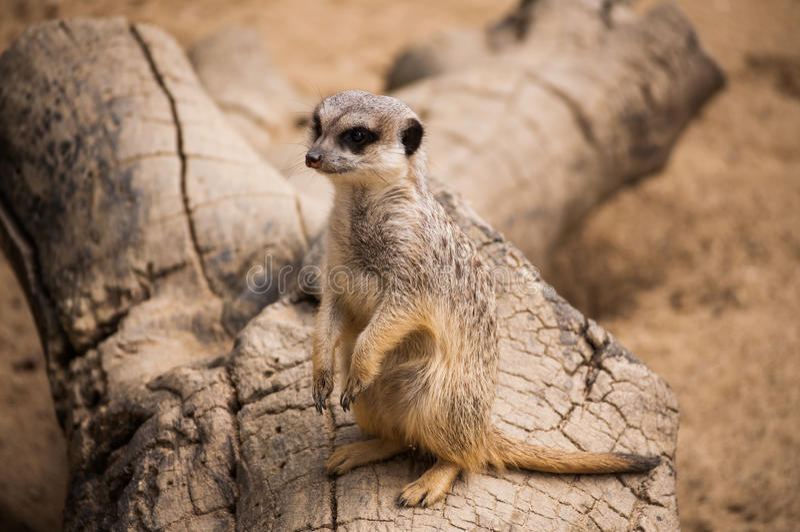 Meerkaten eller suricaten i den Lissabon zoo royaltyfri fotografi
