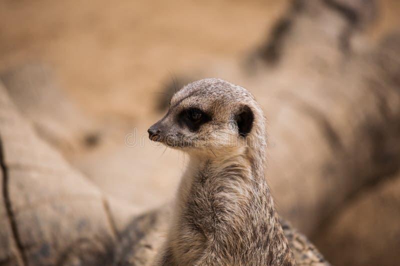 Meerkaten eller suricaten i den Lissabon zoo arkivbilder