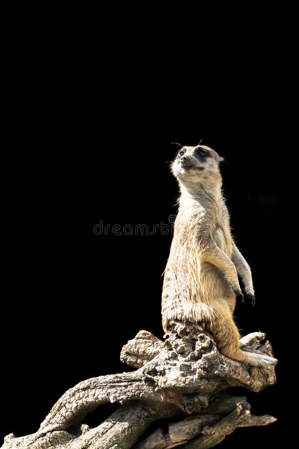 Meerkaten sitter på en trädfilial med ett roligt uttryck Rolig isolerad meerkatnärbild royaltyfri fotografi