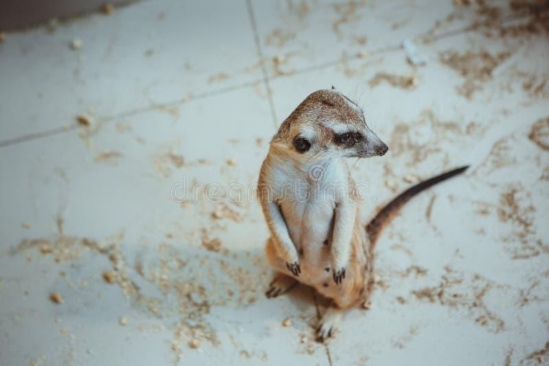 Meerkaten sitter på sand i zoo royaltyfri fotografi