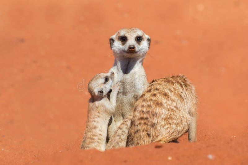 Meerkatfamilie op rood zand, de woestijn van Kalahari, Namibië royalty-vrije stock afbeeldingen
