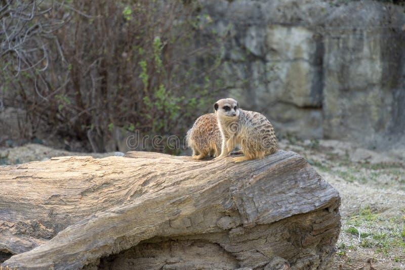 Meerkats在动物园里 库存图片