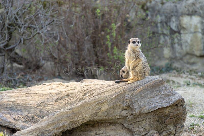 Meerkats在动物园里 免版税库存照片