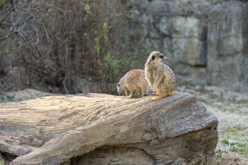 Meerkats在动物园里 库存照片