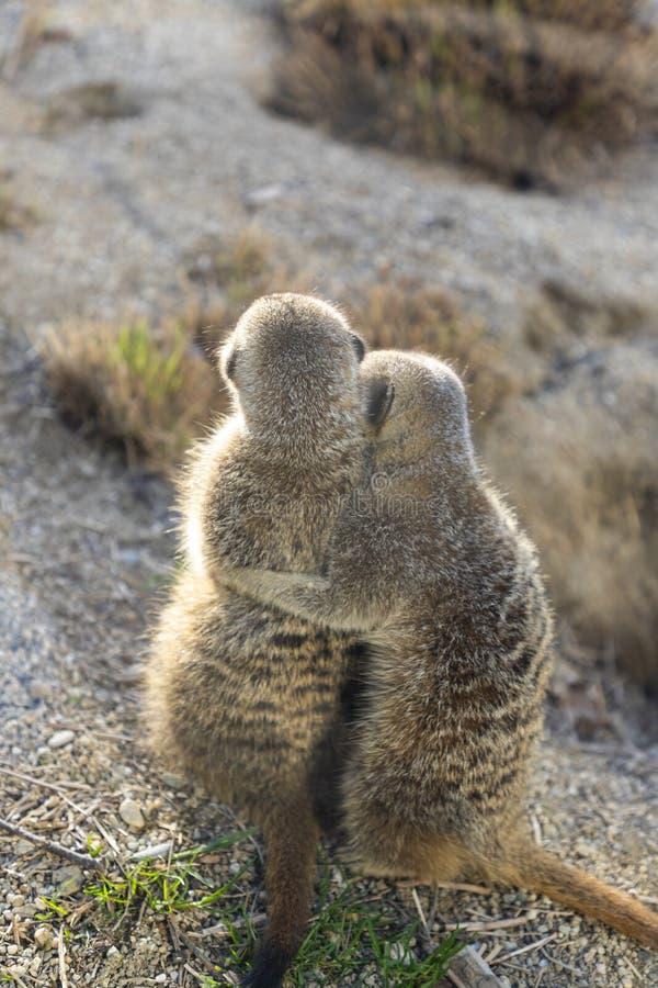 Meerkats在动物园里 免版税图库摄影