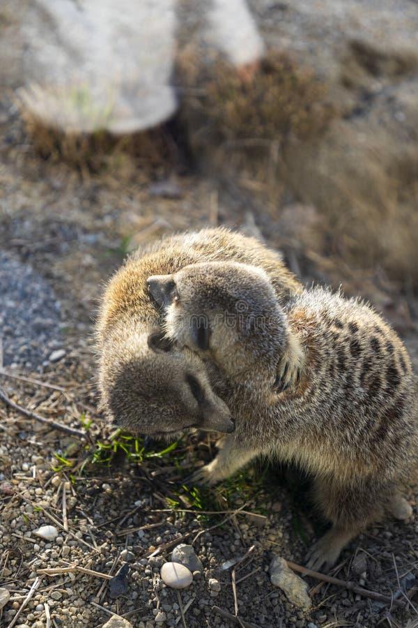 Meerkats在动物园里 图库摄影
