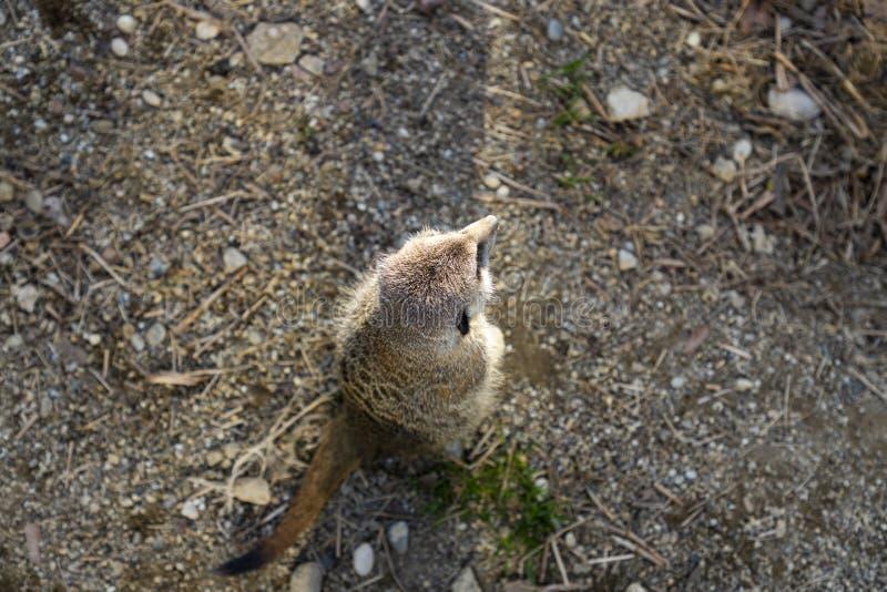 Meerkats在动物园里 免版税库存图片