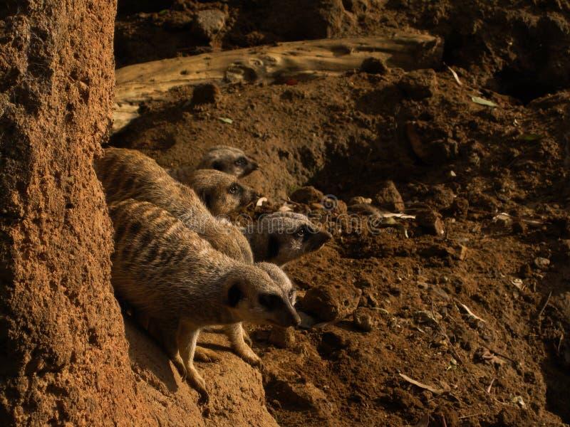 Meerkats小组 库存图片