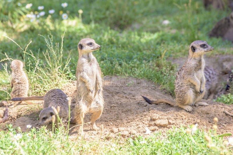 Meerkats,自然行为,注意敌人 免版税库存照片