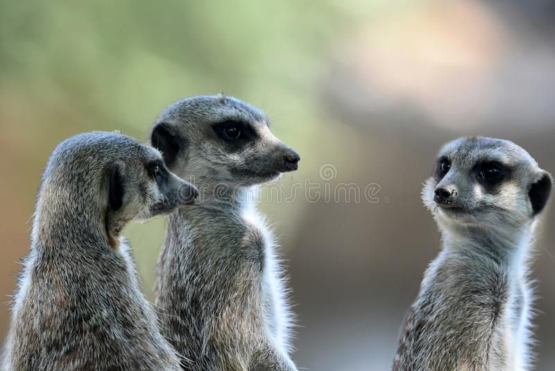 Meerkats ή suricates παρατήρηση να περιβάλει στοκ εικόνα