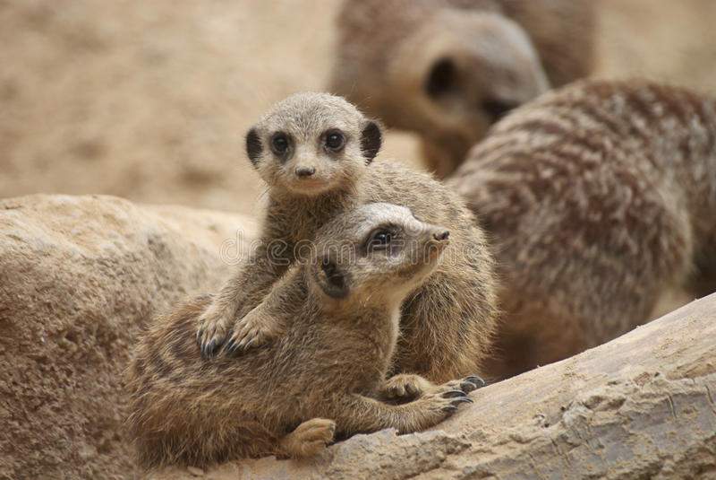 meerkats νεολαίες στοκ φωτογραφία με δικαίωμα ελεύθερης χρήσης
