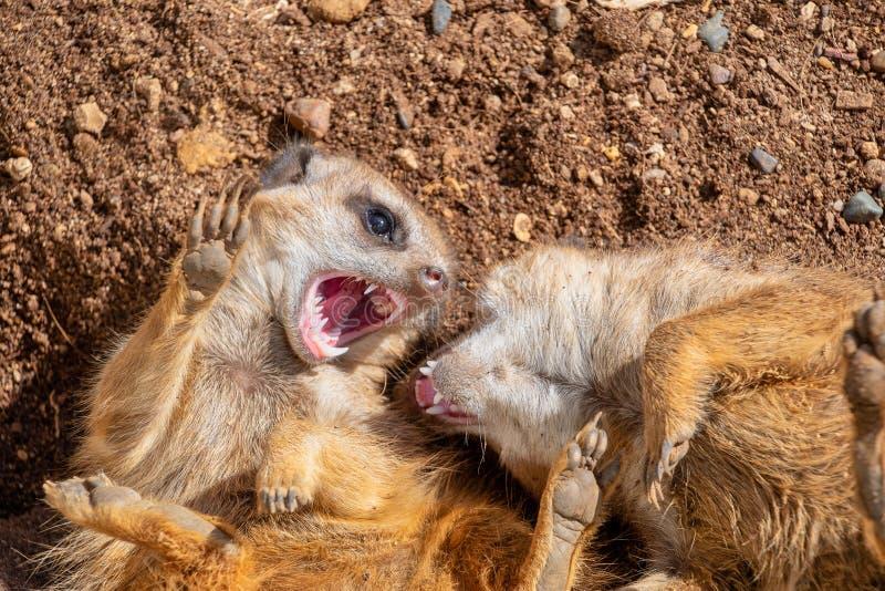 Meerkats играя и показывая их зубы стоковые фото