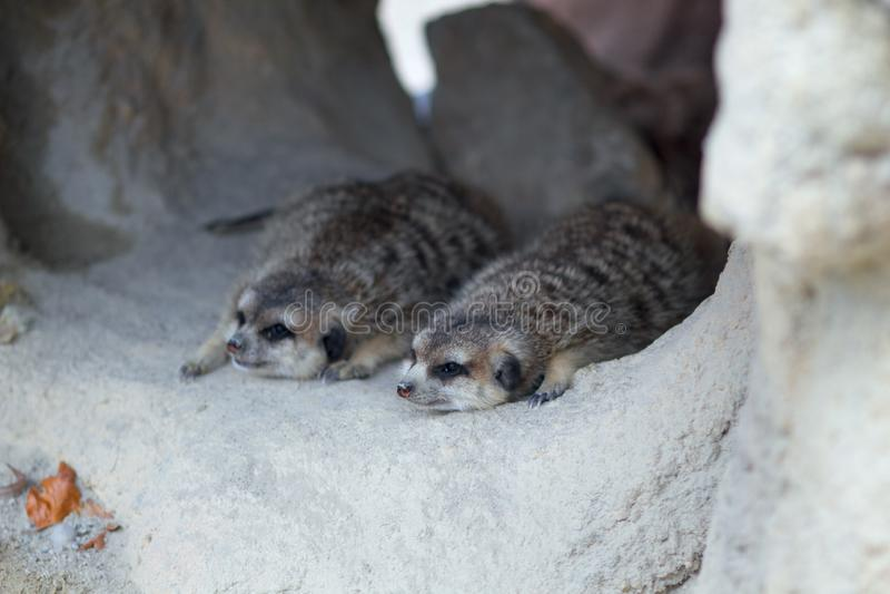 2 meerkats лежа в отверстии стоковые изображения