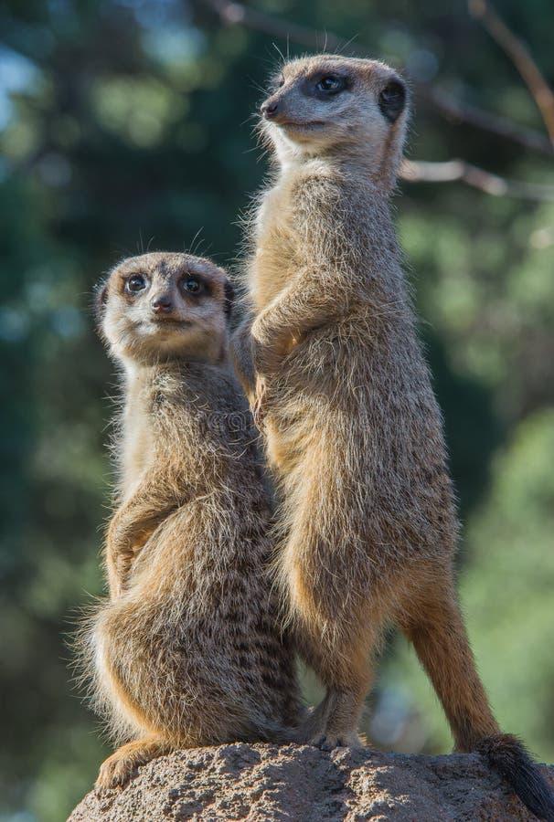 Meerkats на бдительности стоковая фотография