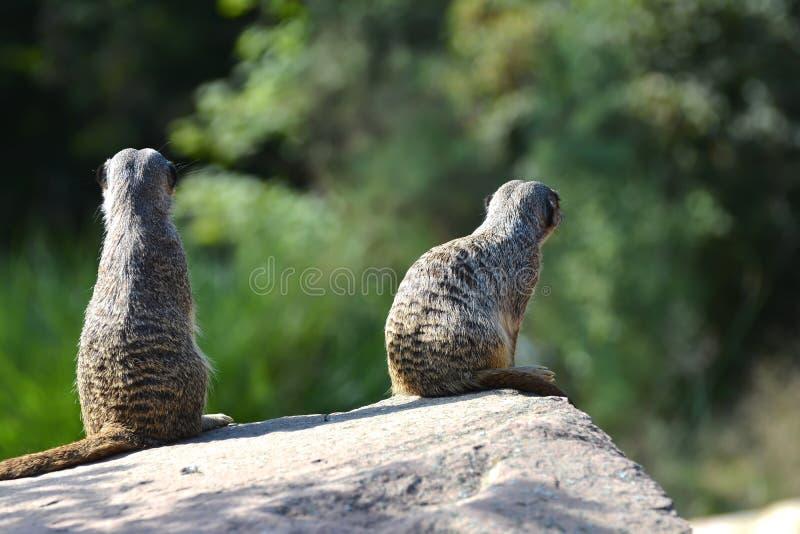 Meerkats на утесе стоковое фото rf