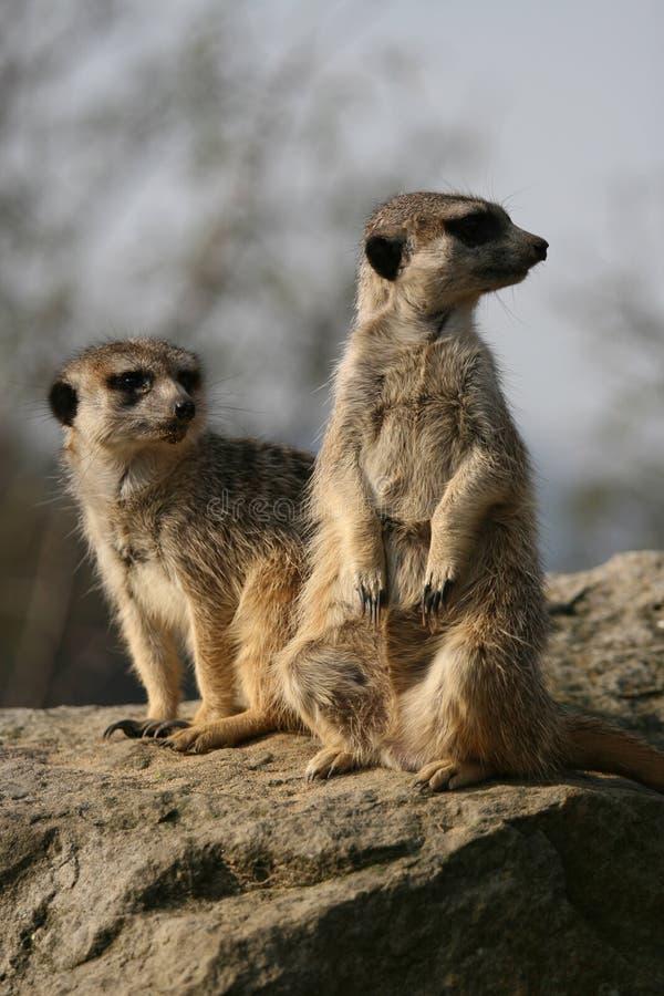 meerkats сидя камень стоковое изображение