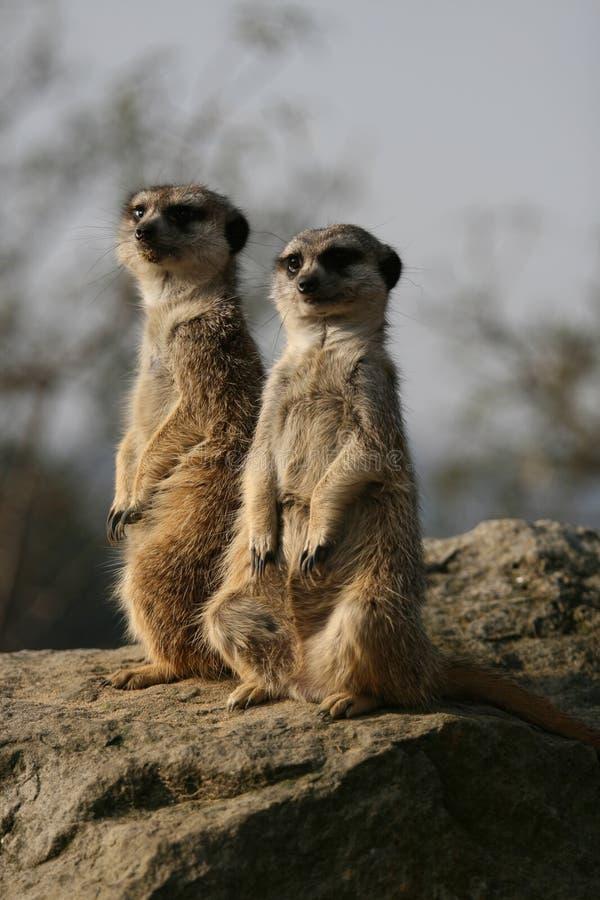 meerkats сидя камень стоковое изображение rf