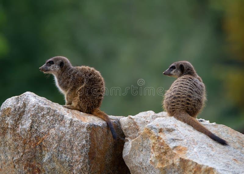 2 meerkats сидя на камне, боковой взгляд стоковые изображения