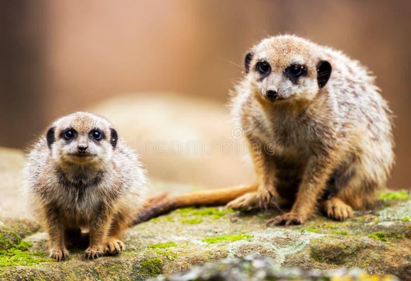 2 meerkats сидя на камне стоковое изображение rf