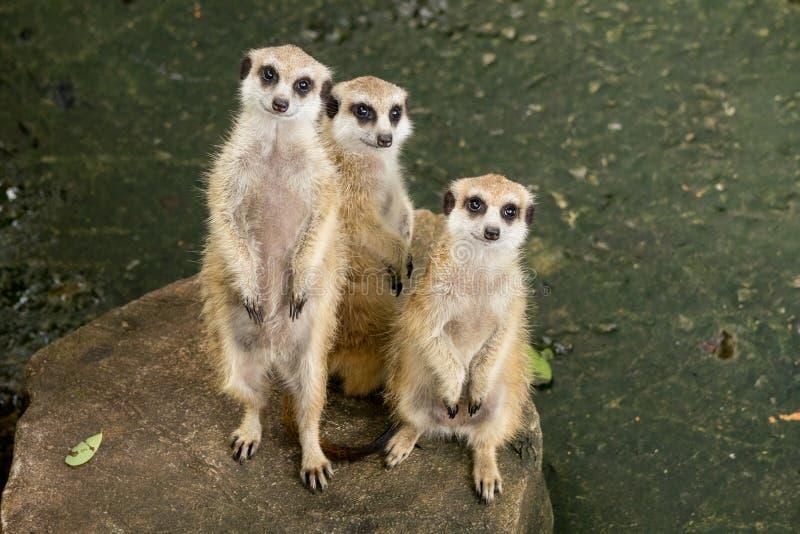 3 Meerkats стоя вверх и сидя на камне тип мангусты небольшое южно-африканское животное с длинным хвостом стоковая фотография