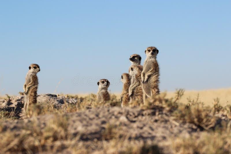 Meerkats стоя вверх стоковые изображения